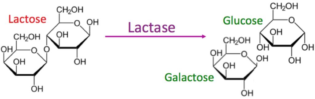 Lactase activity