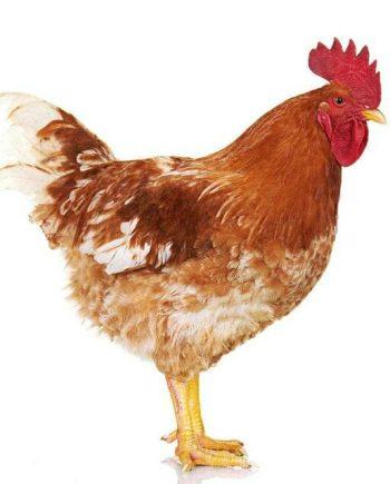 Ένζυμα ζωοτροφών πουλερικών